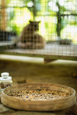 Civet coffee farm in Indonesia - Raw coffee beans in focus, caged animal in background. Coffee is produced from beans that have been eaten and defecated by civet. Also known as Kopi Luwak, this type of coffee is famous for its non-acidic, smooth taste and Stock Photo