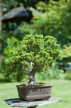 bonsai tree: Bonsai tree in a garden, shallow depth of field