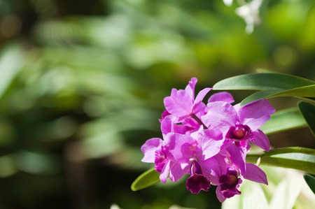 epiphytic: Cattleya bowringiana orchid. Selective focus, copy space Stock Photo