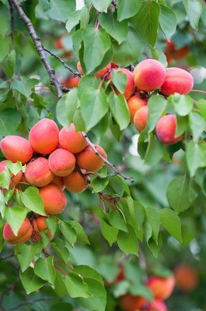 apricot tree: Apricot tree. Selective focus
