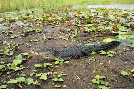 alligators: American alligator in Everglades, Florida