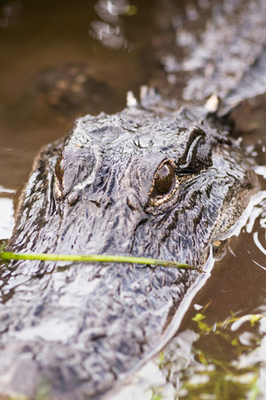 lurking: Alligator lurking from the water. Close-up shot, selective focus set on eyes, ProPhoto RGB