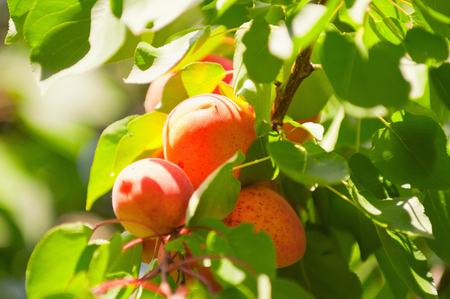 selective focus: Bunch of apricots in sunlight. Selective focus.