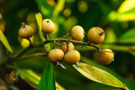 nutmeg: Nutmeg tree