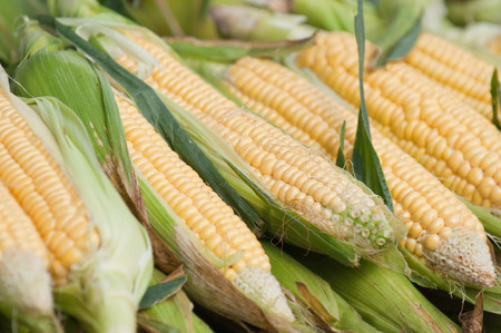 full frames: Fresh corn on the cob, selective focus Stock Photo