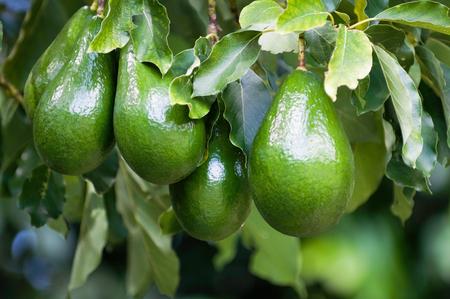 Avocado tree, selective focus