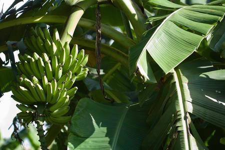 selective focus: Banana tree, selective focus Stock Photo
