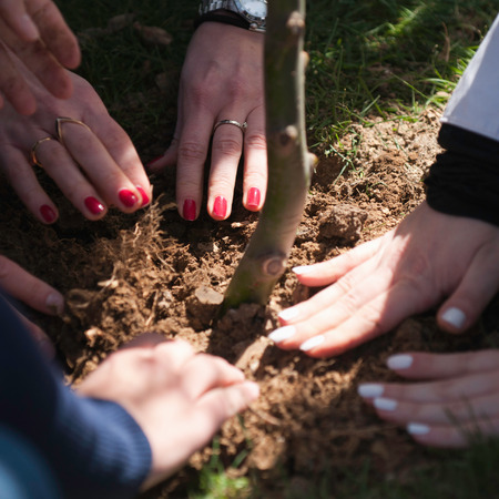 planting a tree: Hands of three persons planting a tree Stock Photo
