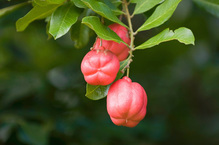 Ackee - National fruit of Jamaica. Considered highly poisonous, yet can be a delicious meal if prepared properly. Selective focus, lots of copy space, ProPhoto RGB. Фото со стока