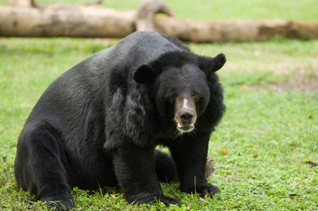 oso negro: oso negro en la hierba. enfoque selectivo