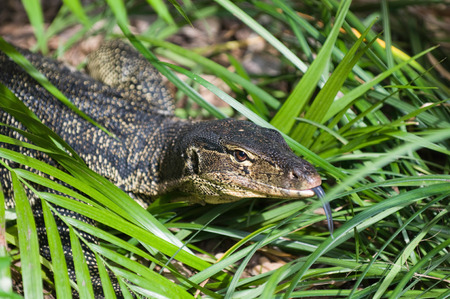cold blooded: Water monitor. Portrait of lizard in the grass. Selective focus