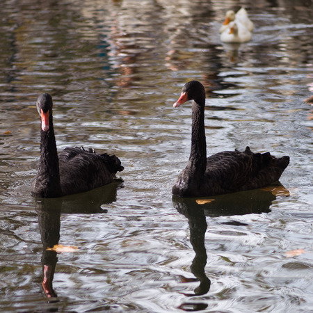 freshwater bird: Pair of black swans swimming in the pond