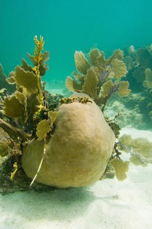 brain coral: corals Stock Photo