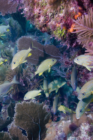 sea fans: Coral gardens. Underwater scene with lots of gorgonians, sea fans and soft corals, typical for Caribbean, Florida and Bahamas. Stock Photo