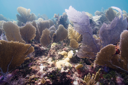 soft corals: Coral gardens. Underwater scene with lots of gorgonians, sea fans and soft corals, typical for Caribbean, Florida and Bahamas. Stock Photo
