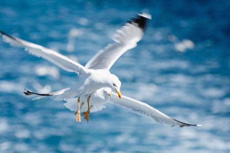tele: Pair of seaguls in flight. Shallow depth of field, focus set on first bird, wings in motion blur, polarizing filter on a high-powered tele lens.