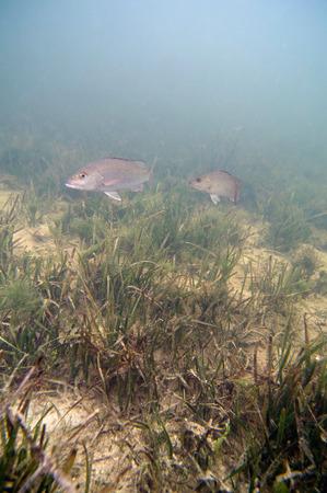 fondali marini: Fish swimming over a grassy seabed. Wide angle, selective focus.