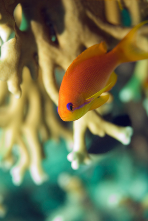 anthias fish: Anthias fish in the coral network. Macro, shallow depth of field, focus set on the face Stock Photo