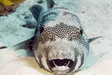 pufferfish: Portrait of a blaskspotted pufferfish