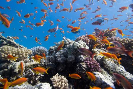 anthias: Anthias on the coral reef, wide angle shot