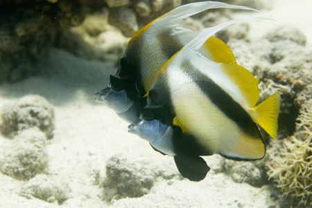 bannerfish: Bannerfish pair in the Red Sea. Shallow depth of field