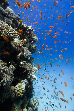 Abundance of colorful Anthia fish swimming around the coral pinnacle Stock Photo