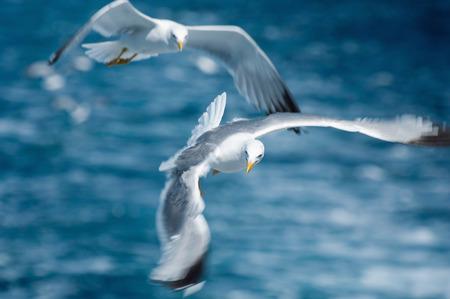vigorous: Pair of seaguls in vigorous flight. Shallow depth of field, focus set on the birds head, wings in motion blur