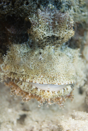mimicry: Face of a scorpionfish, shallow depth of field, focus set on the mouth Stock Photo