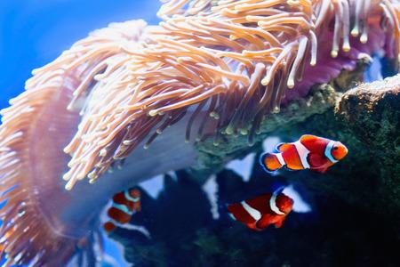 percula: Amphiprion percula, orange clown fish and anemone