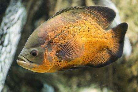 pygocentrus: Pygocentrus piraya, large aggresive species of piranha