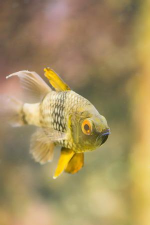 freshwater fish: Close-up image of tropical freshwater fish