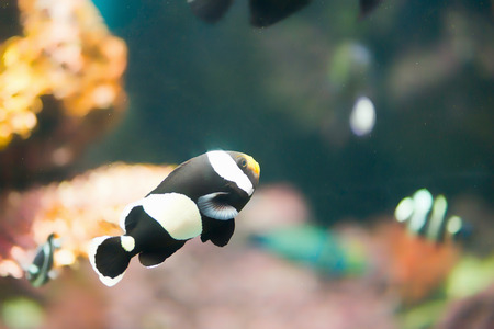 amphiprion: Sebae clownfish, Amphiprion sebae