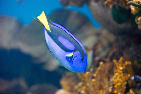 blue fish: Regal Blue Tang Fish