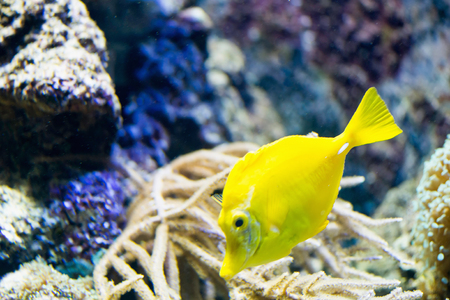 flavescens: Yellow tang, Zebrasoma flavescens