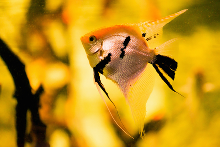 scalare: Freshwater Angelfish, Pterophyllum scalare Stock Photo