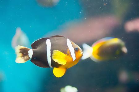 peces payaso: Clownfish de rabo amarillo, clarkii Amphipn Foto de archivo