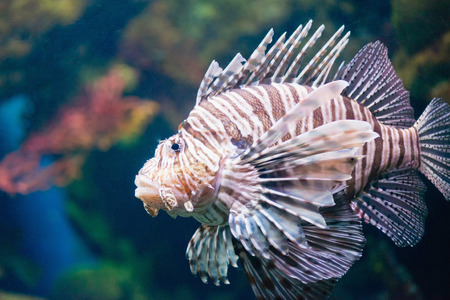 pterois volitans: Lionfish,Pterois volitans Stock Photo