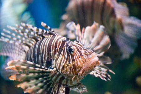 pterois: Lionfish, Pterois volitans