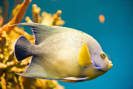 angelfish: Angelfish