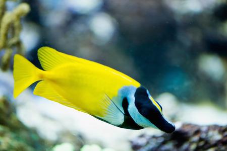 rabbitfish: Foxface rabbitfish