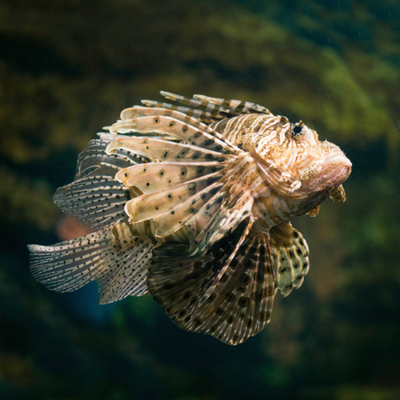 sea life centre: Lion Fish Stock Photo
