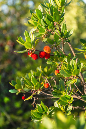 strawberry tree: Madrona or strawberry tree with fruit, Arbutus Unedo Stock Photo