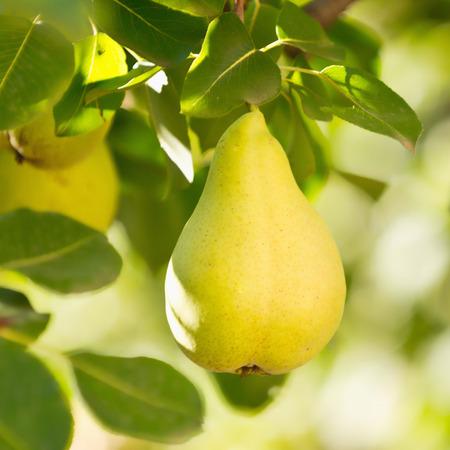 williams: Williams or Bartlett pear on tree