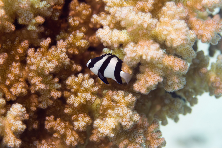 reefscape: Whitetail damselfish on the coral background Stock Photo