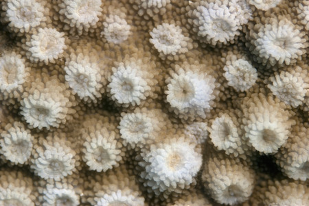 hard coral: Surface of the healthy hard coral. Underwater macro. Stock Photo