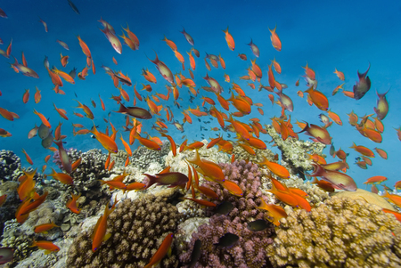 reefscape: Wide angle shot of coral fish swimming around Red Sea reefs