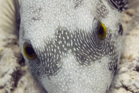 pufferfish: Pufferfish close-up