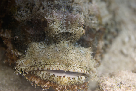 scorpionfish: Face of a scorpionfish. Close-up, shallow depth of field. Stock Photo