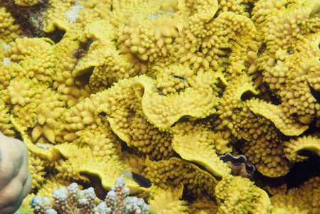 polyps: Yellow salad coral background with open polyps and some marine life