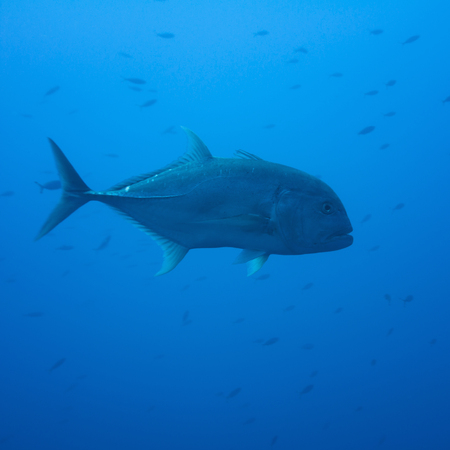 blue fish: Giant trevally in deep water